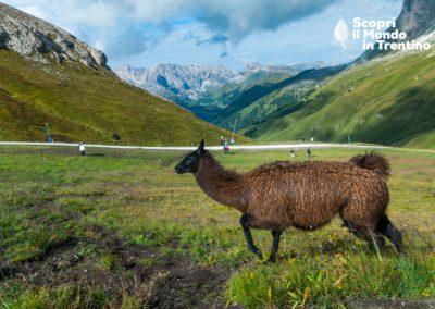 Roberto Serra: Un lama nelle dolomiti